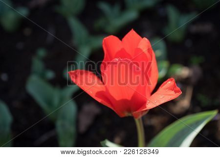 A Single Red Tulip Flower With A Blurred Background In Lisse, Netherlands, Europe