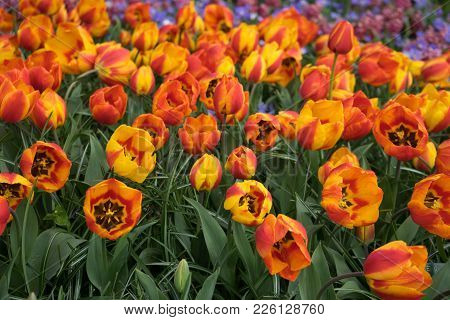 Fresh Bright Yellow Tulips With A Tinge Of Red On A Summer Day In Lisse,keukenhoff, Netherlands, Eur