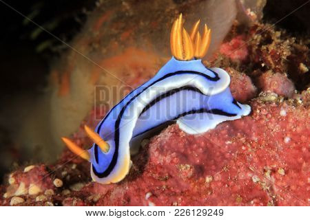 Chromodoris Sp (unidentified) Nudibranch In Anilao, Philippines