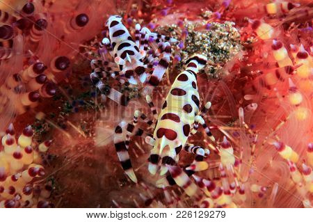 Coleman Shrimp Couple (periclimenes Colemani) On A Fire Urchin. Anilao, Philippines