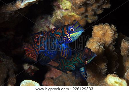 Mandarinfish Couple (aka Mandarin Dragonet, Synchiropus Splendidus), About To Mate. Moalboal, Philip