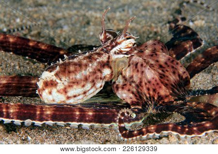 Close-up Of A Mimic Octopus (thaumoctopus Mimicus) On Sandy Bottom. Anilao, Philippines