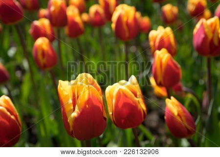 Red And Yellow Tulips In A Garden In Lisse, Netherlands, Europe