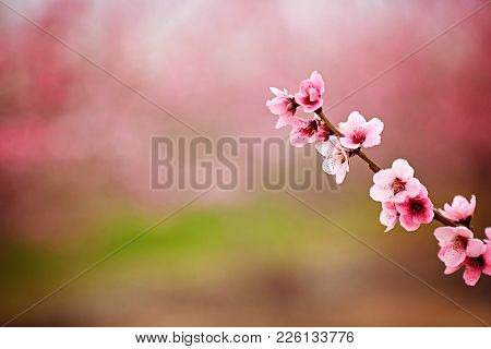Almond Blossom. Branch Of Blossoming Almonds On A Pink Background. Spring Blooming Background