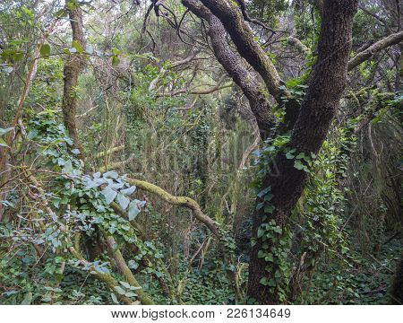 Mystery Primary Laurel Forest Laurisilva Rainforest With Old Mossed Trees And Green Ivy In Anaga Mou