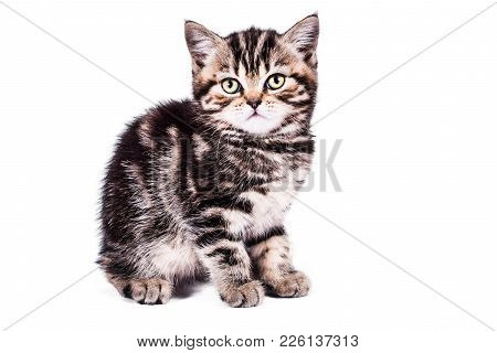 Scottish Straight Kitten With Gift Box On White Background. Pet And Domestic Animal.