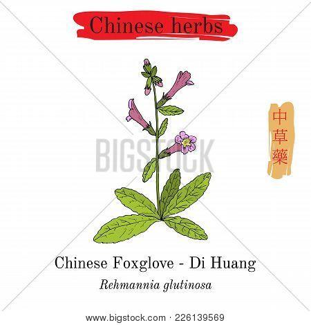 Medicinal Herbs Of China. Foxglove Rehmannia Glutinosa . Hieroglyph Translation Chinese Herbal Medic