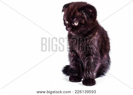 Sad And Outraged Scottish Fold Kitten Isoliert On White Background. Pet And Domestic Animal.