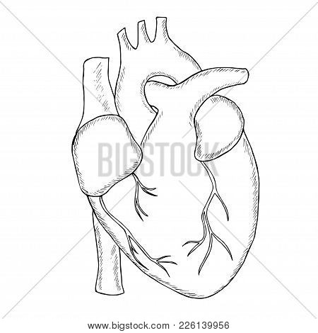Engraving Hand Draw Human Heart  In Sketch Style Illustration, Isolated On White Background. Anatomi