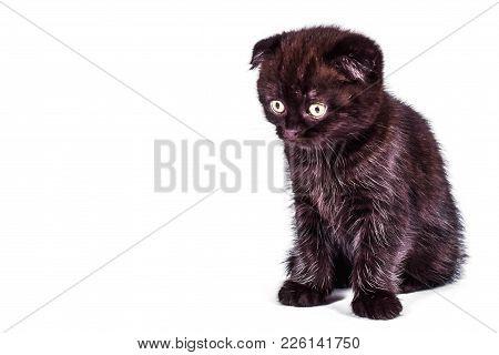 Scottish Fold Kitten Isoliert On White Background. Pet And Domestic Animal.