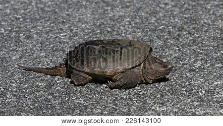 A Common Snapping Turtle (chelydra Serpentina) Crossing The Road In Everglades National Park, Florid