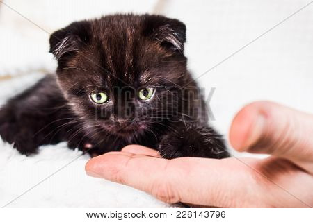 Scottish Fold Kitten In A White Plaid And Human Hand. Pet And Domestic Animal.
