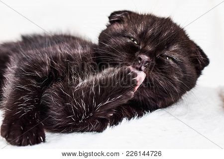 Scottish Fold Kitten In A White Plaid Licking Its Paw. Pet And Domestic Animal.