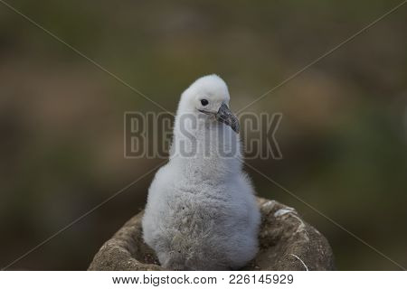 Chick Of A Black-browed Albatross (thalassarche Melanophrys) Sitting On Its Nest On The Cliffs Of We