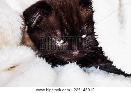 Scottish Fold Kitten In A White Plaid Go To Sleep. Pet And Domestic Animal.