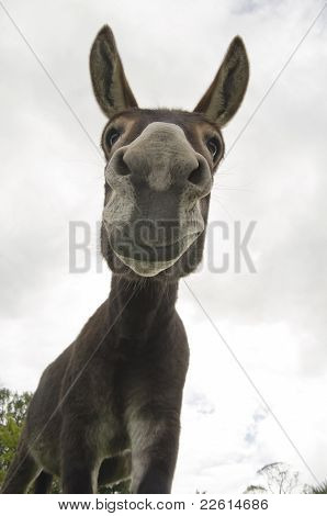 Funny And Silly Jackass Or Donkey