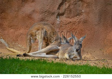 The Two Kangaroos Resting Outside At The Rock