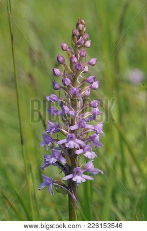 Common Fragrant Orchid - Gymnadenia Conopsea  Grassland Flower
