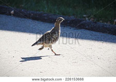 A Juvenile Gray Partridge Runs Accross A Driveway.