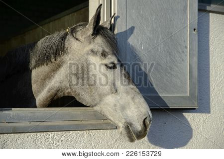 Head Of A Thoroughbred Gray White Horse Looks Out The Window Of The Stables