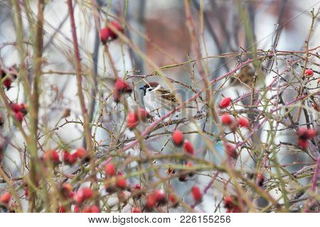 Sparrow On A Branch, Dog Rose, Hiding From Predators
