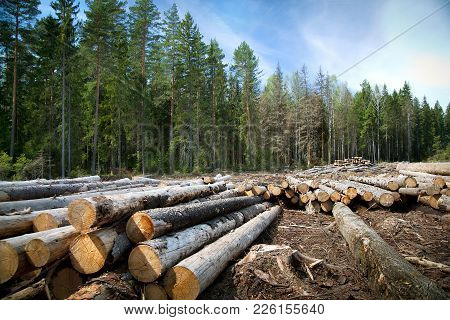 Deforestation In Rural Areas. Timber Harvesting. Green Coniferous Forest. Spruce, Pine. A Lot Of Log