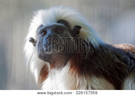 Close Up Beautiful Cotton-top Tamarin Monkey Or Saguinus Oedipus