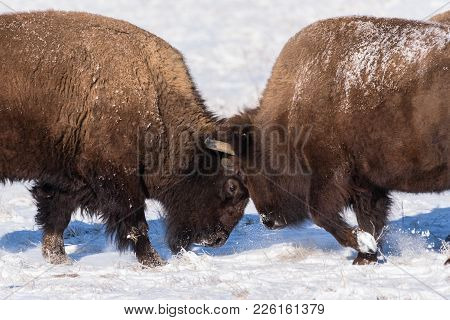 Two Bison Sparring In The Snow On The Colorado Plains