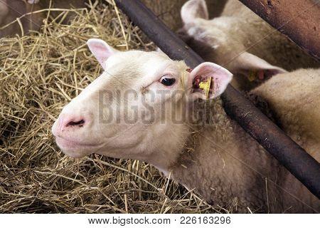 Female Sheeps Portrait Eating Hay In Sheepfold Farm