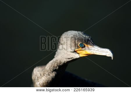 A Unique Portrait Of A Double-crested Cormoarant With A Dark Background.