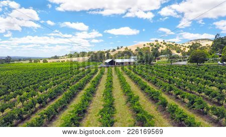 Drone Aerial Of The Barossa Valley, Major Wine Growing Region Of South Australia, Views Of Rows Of G