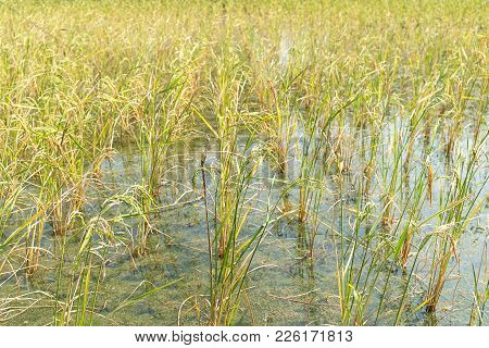 Rice Fields In The Tropic
