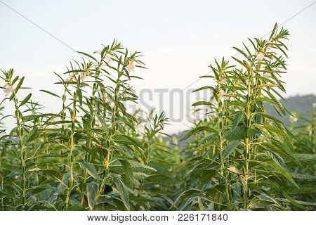 Sesame On Tree In Plant
