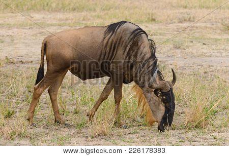Closeup of Wildebeest (scientific name: Connochaetes taurinus or