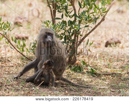 Closeup of Olive Baboons (scientific name: papio anubis, or Nyani in Swaheli) in the Lake Manyara National park, Tanzania