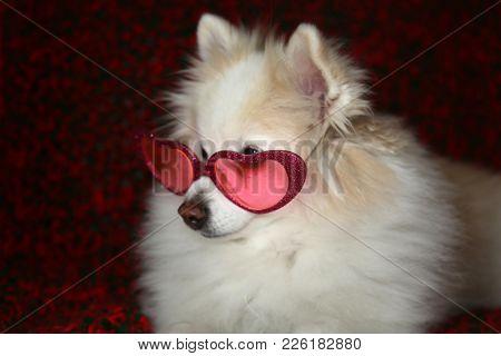 Pomeranian Dog portrait. Dog wearing Heart Shape Valentines Day sunglasses.