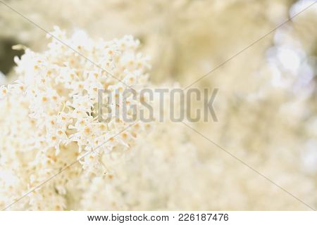 Blurry White Flowers With The Same White Background Flowers. The Concept Of Using Is Textures And Ba