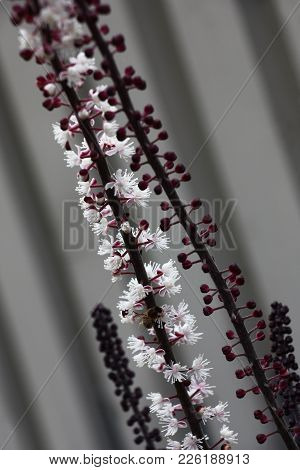 On A Grey Background Two Inflorescences Of A Cimicifuga. On One Inflorescence Small White Flowers Ha