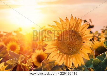 A Blossoming Sunflower Flower Close-up, A Hot Summer Day, An Agricultural Crop, A Growing Sunflower