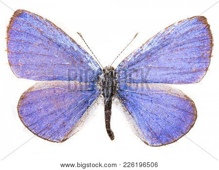 Male common blue butterfly (Polyommatus icarus) isolated on a white background