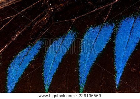 Detailed macro photo of a shiny blue tropical birdwing butterfly (orinthoptera urvillianus) wing