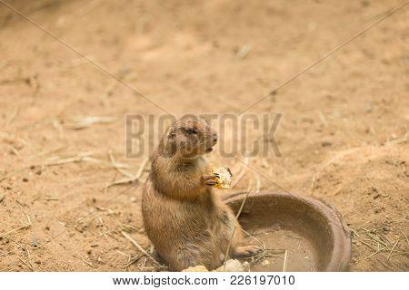 Prairie dog also known as genus cynomys eating a corn