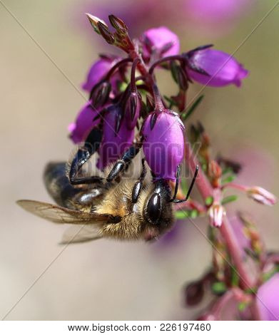 Bee Upside Down Eating Pollen From A Pinky Flower