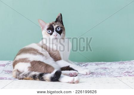 Blue Eyed Cat. Cat Lying On Bed. Cat Look At Camera With Green Color Background. Cat Thai.