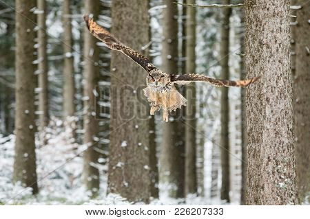 Eurasian Eagle Owl, Bubo Bubo, Flying Bird With Open Wings In Winter Forest, Forest In The Backgroun