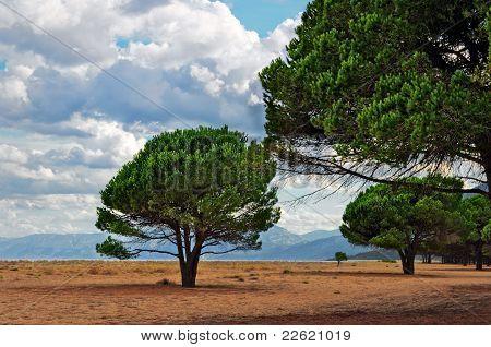 Maritime Pine on a Sardinian beach