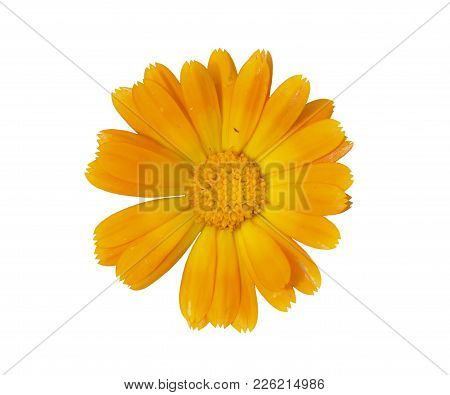 A Close Up Of The Flower Of Medicinal Herb Marigold (calendula Officinalis). Isolated On White.