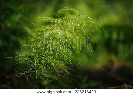 Horsetail In The Dew  For Any Purpose
