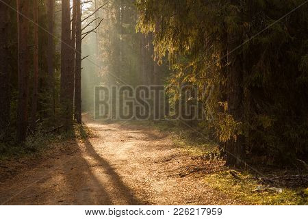Thick Mist In Coniferous Forest. Morning Landscape In Summer Thick Fog. Dense Fog In The Morning. Ea