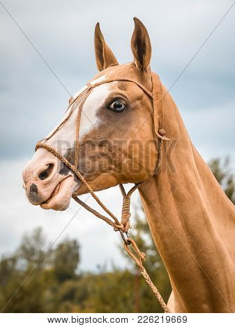 Portrait Red Horse With Blue Eyes In Leather Bridle